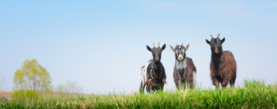 Three young goats standing on a green meadow and looking to a ca