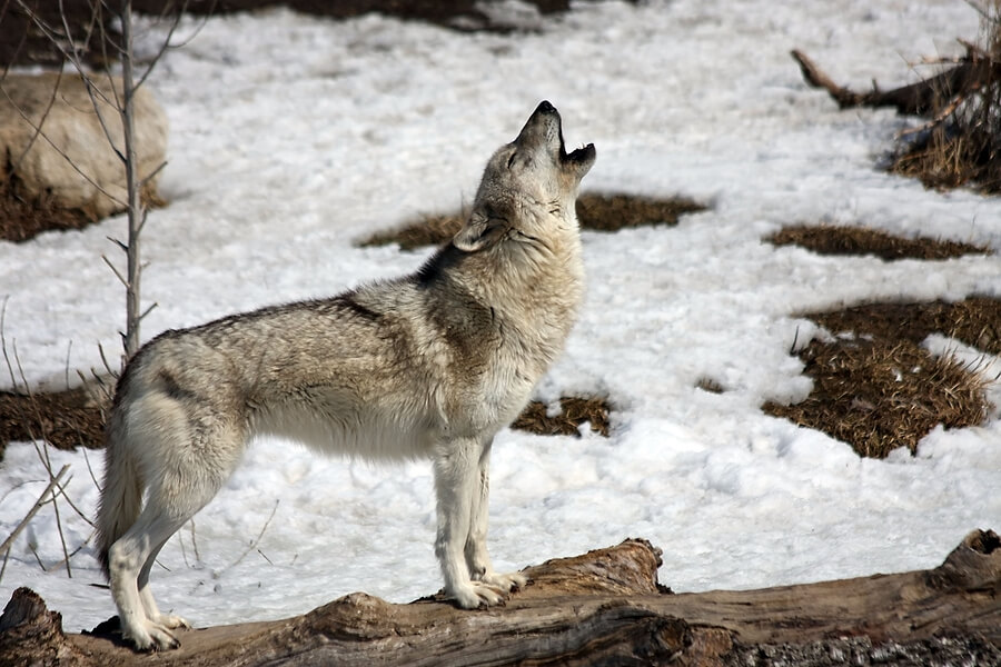 Lone Wolf howling in cold winter environment. ** Note: Slight blurriness, best at smaller sizes